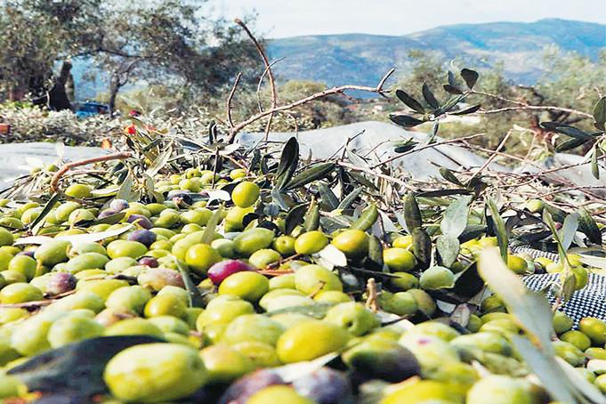 oliven-1
